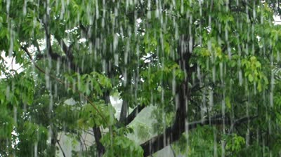 Austin stock-footage-closeup-of-heavy-rain-falling-in-front-of-a-gumbo-limbo-tree